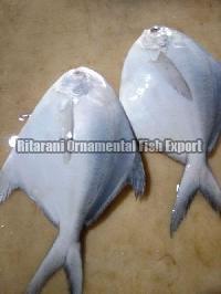 Live Silver Pomfret Fish