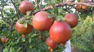 Residue free farm fresh pomegranate
