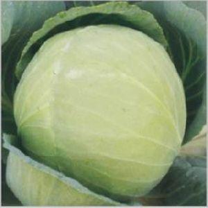 Hybrid Cabbage