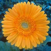 Gerbera Cut Flower