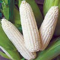 Gmo And Non Gmo White Corn