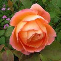 Lady Emma Hamilton Rose Flower