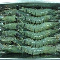 Hoso B And Tiger Shrimp