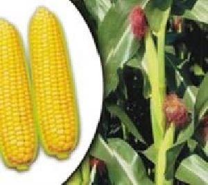 Hybrid Sweet Corn- Madhu
