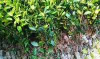Green Tea Plants