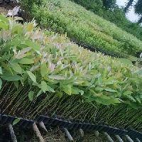 Teakwood Plantation Service
