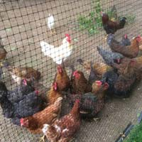 Poultry Hens