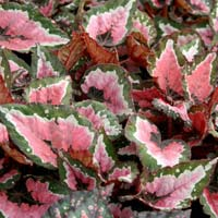 Begonia Rex Indoor Plants
