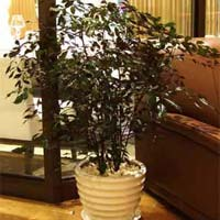 Leea Coccinea  Shrub Plants