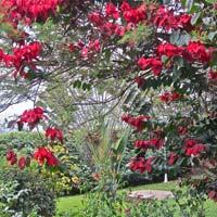 Mussaenda Erythrophylla Shrub Plants