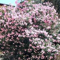 Nerium Oleander Shrub Plants