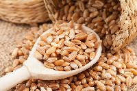 High Quality Indian Wheat