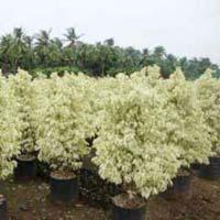 Ficus Starlight Plant
