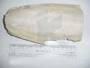 Sepiae Os (cuttle Fish Bone)