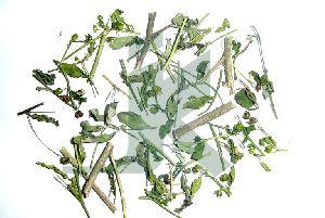 SIDA CORDIFOLIA (Country Mallow Leaves)