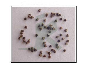 SIDA CORDIFOLIA (country mallow seeds)