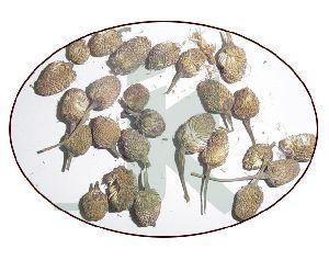SPILANTHES OLERACEA (paracress)