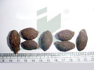 STERCULIA LYCHNOPHORA (Malva Nut)