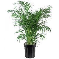 Areca Palm Plant