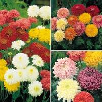 Chrysanthemums Flower
