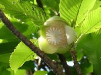 Elephant Apple - Dillenia Indica