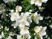 Jasmine - Jasminum Grandiflorum