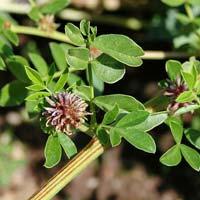 Mulethi - Glycyrrhiza Glabra.