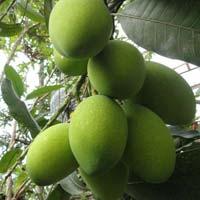 Swarna Mango Plant