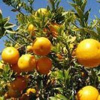 Paclobutrazol For Citrus