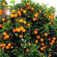 Paclobutrazol For Orange Trees