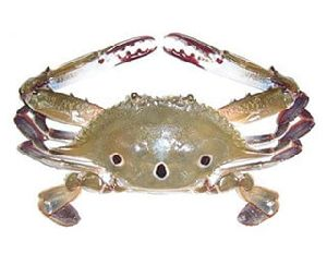 Three-spotted Crab