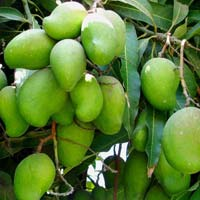 Fresh Green Mango