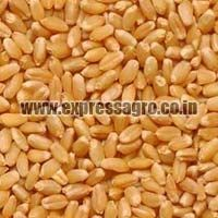 Lokwan Wheat Seeds
