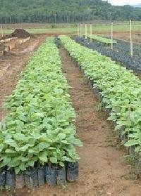 Tissue Calture Teak Plant