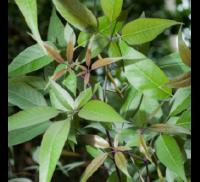 Nirgundi Leaf