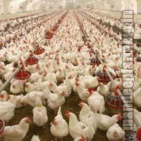 Poultry Farm House