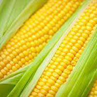 Whole Yellow Maize