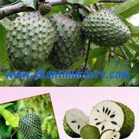 Cancer fruit plant