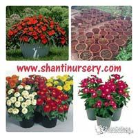 Flowering Plant For Garden