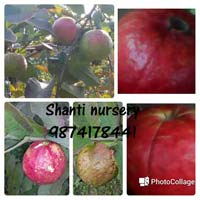 Thai Red Guava Plant