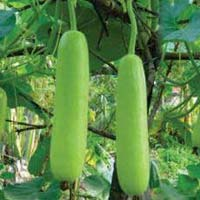 Angad ABOH-51 Hybrid Bottle Gourd Seeds