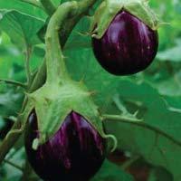 Pramukh Abrh-1008 Hybrid Brinjal Seeds