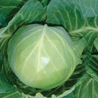 Tanu Abch-35 Hybrid Cabbage Seeds