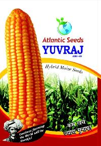 Yuvraj Hybrid Yellow Maize Seeds
