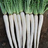 Hybrid Radish Seeds