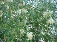 Drum Stick Seeds/pods/leaf