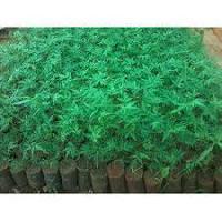 Melia Dubia Plants