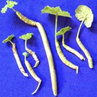 Ayurvedic Urea Herbs For Sale
