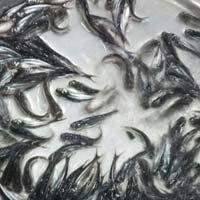 Pangasius Fish Seeds