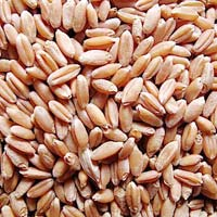 Russia Red Wheat